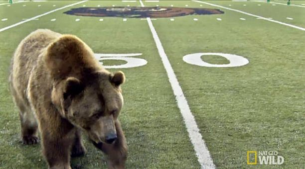 Brutus real grizzly bear on the field